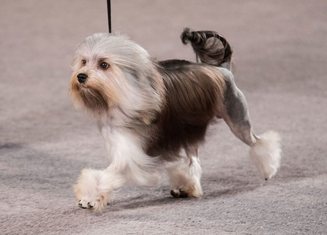Most Expensive Dogs (Part2)​ | Lowchen