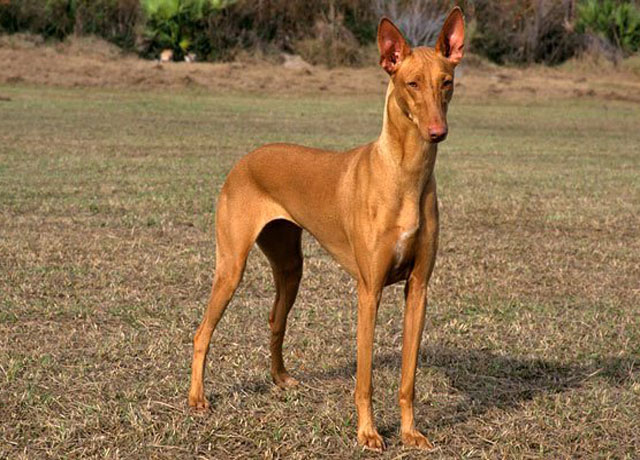 Most Expensive Dogs (Part2)​ | Pharaoh-Hound